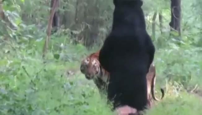 अस्वलाच्या पुढे ताडोबाची वाघीण झाली नतमस्तक