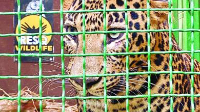 rescued leopard pudhari.news